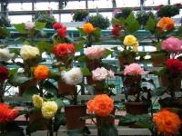 花と泉の公園2017-05-14ベゴニア館137