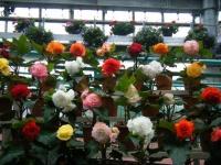 花と泉の公園2017-05-14ベゴニア館136