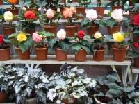 花と泉の公園2017-05-14ベゴニア館135