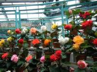 花と泉の公園2017-05-14ベゴニア館141