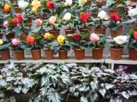 花と泉の公園2017-05-14ベゴニア館139