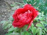 花と泉の公園2017-05-14牡丹園143