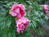 花と泉の公園2017-05-14牡丹園142