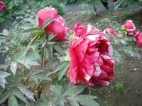 花と泉の公園2017-05-14牡丹園141