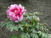 花と泉の公園2017-05-14牡丹園140