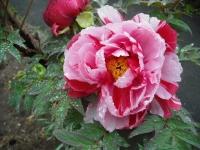 花と泉の公園2017-05-14牡丹園138