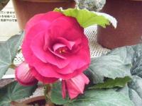 花と泉の公園2017-05-14ベゴニア館150