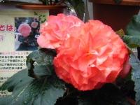 花と泉の公園2017-05-14ベゴニア館149