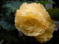 花と泉の公園2017-05-14ベゴニア館147