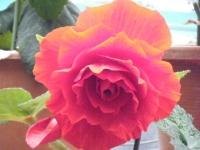 花と泉の公園2017-05-14ベゴニア館155