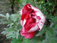 花と泉の公園2017-05-14牡丹園148