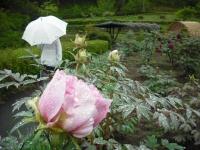 花と泉の公園2017-05-14牡丹園147