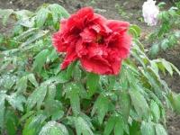 花と泉の公園2017-05-14牡丹園146