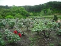 花と泉の公園2017-05-14牡丹園144
