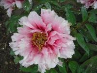 花と泉の公園2017-05-14牡丹園153