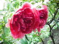 花と泉の公園2017-05-14牡丹園152