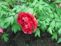 花と泉の公園2017-05-14牡丹園150