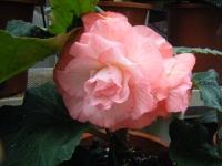 花と泉の公園2017-05-14ベゴニア館162