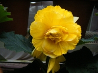 花と泉の公園2017-05-14ベゴニア館161