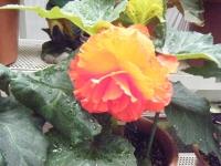 花と泉の公園2017-05-14ベゴニア館160