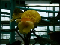 花と泉の公園2017-05-14ベゴニア館159