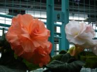 花と泉の公園2017-05-14ベゴニア館158