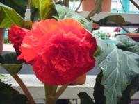 花と泉の公園2017-05-14ベゴニア館168