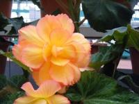 花と泉の公園2017-05-14ベゴニア館167