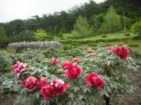 花と泉の公園2017-05-14牡丹園165