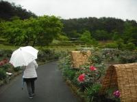 花と泉の公園2017-05-14牡丹園164