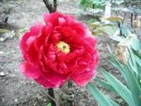 花と泉の公園2017-05-14牡丹園162