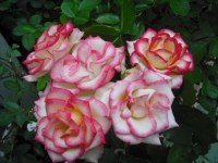 2017-06-11花巻温泉のバラ園012
