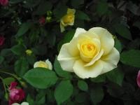 2017-06-11花巻温泉のバラ園008