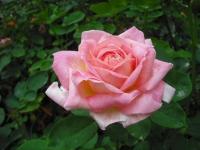 2017-06-11花巻温泉のバラ園018