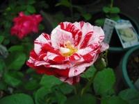 2017-06-11花巻温泉のバラ園024