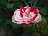 2017-06-11花巻温泉のバラ園021