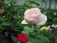 2017-06-11花巻温泉のバラ園020