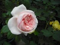 2017-06-11花巻温泉のバラ園019