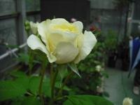 2017-06-11花巻温泉のバラ園030