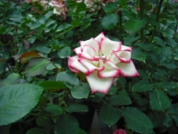2017-06-11花巻温泉のバラ園034