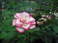 2017-06-11花巻温泉のバラ園041
