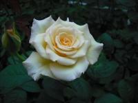 2017-06-11花巻温泉のバラ園039