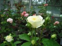 2017-06-11花巻温泉のバラ園038