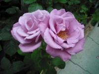 2017-06-11花巻温泉のバラ園047
