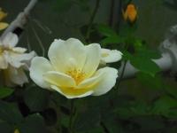 2017-06-11花巻温泉のバラ園046
