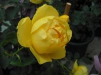 2017-06-11花巻温泉のバラ園044