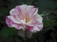 2017-06-11花巻温泉のバラ園051