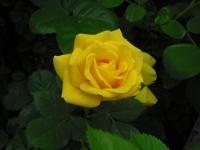 2017-06-11花巻温泉のバラ園050