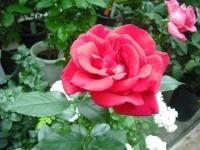 2017-06-11花巻温泉のバラ園049