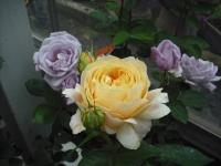 2017-06-11花巻温泉のバラ園060